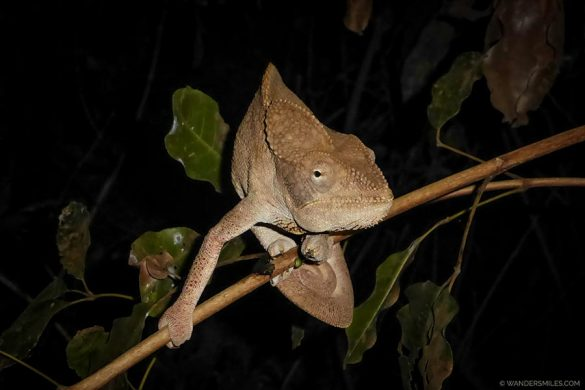 Brown Chameleon by Tsingy de Bemaraha in Madagascar