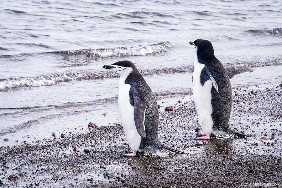 Chinstrap Penguins by the shore on Telefon Bay, Deception Island