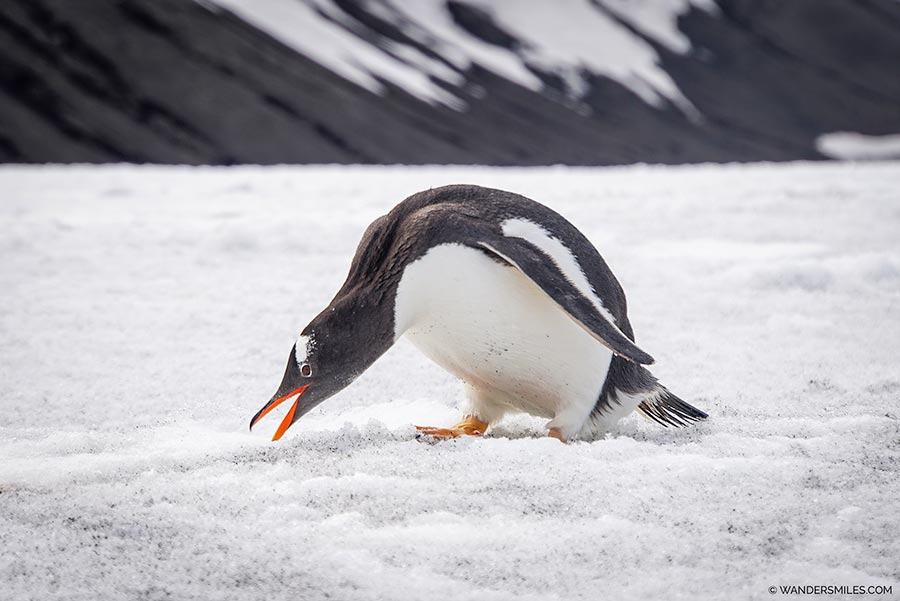 Gentoo Penguin looking for rocks on Telephon Bay, Deception Island