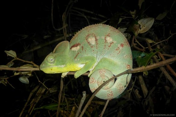Green Chameleon by Tsingy de Bemaraha in Madagascar
