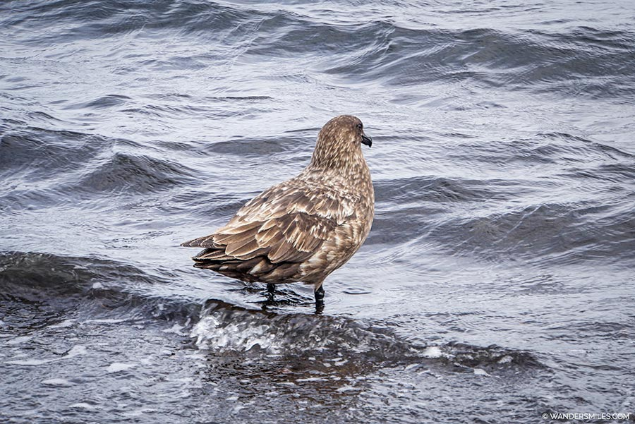 Skua at Telephon Bay, Deception Island, Antarctica