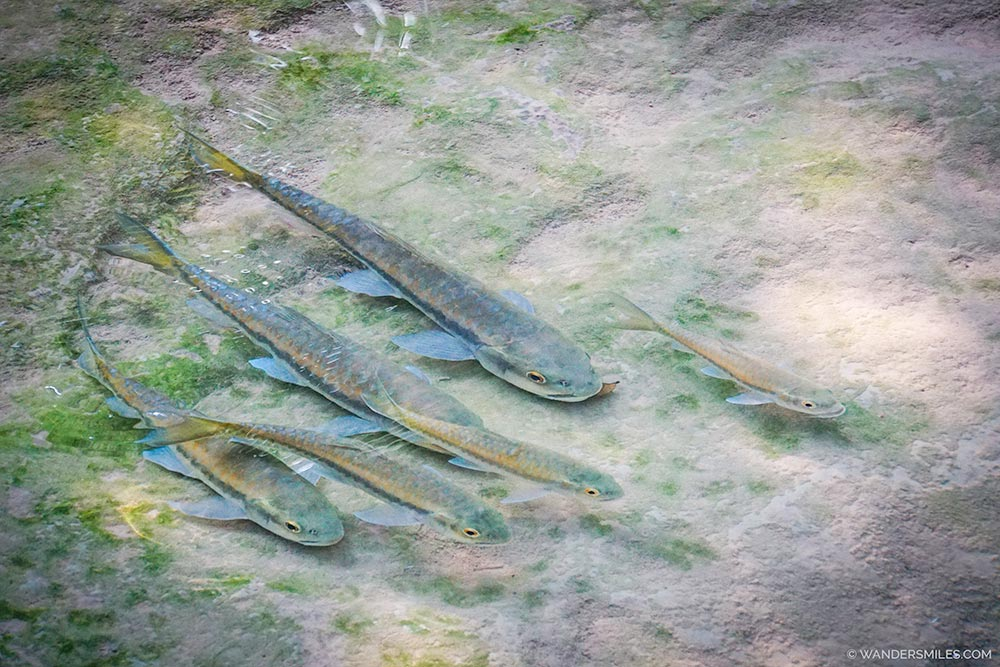Flesh-eating fish in the pools of Erawan National Park