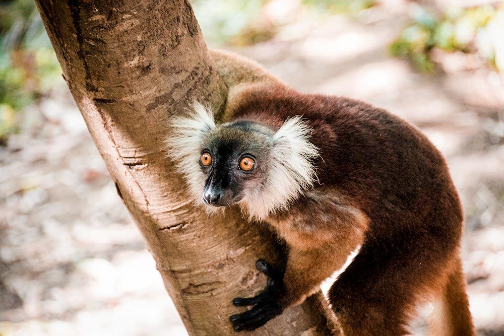 Black Lemur on Komba Island, Madagascar