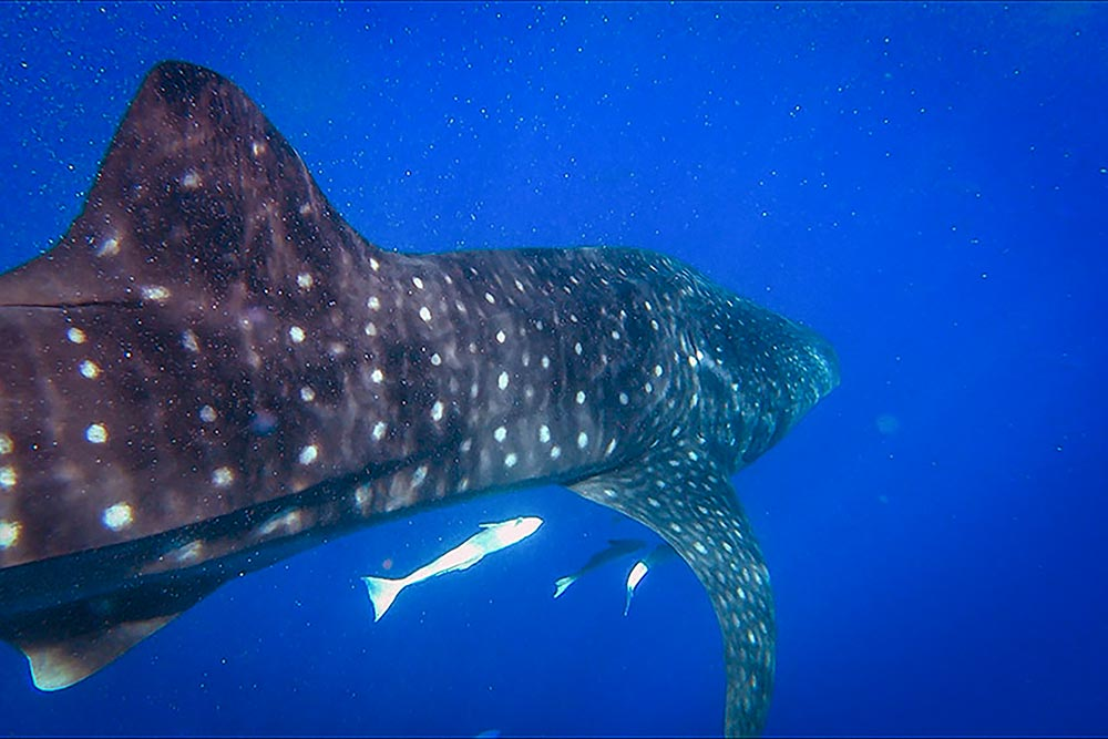 Swimming with whale sharks in Nosy Be