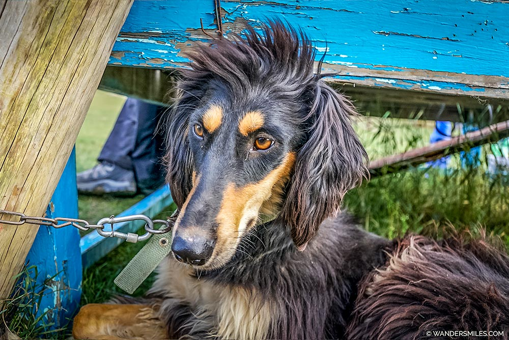 Taigan Hunting Dogs in Kyrgyzstan