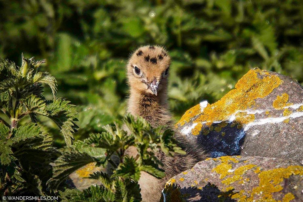 Black-headed Gull Chick on Inner Farne Island