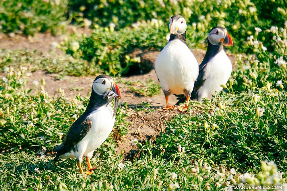 Puffins with sand eels in their beak on Inner Farne Island, Northumberland