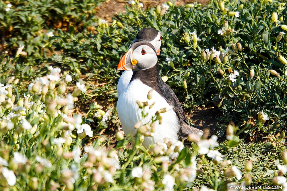 Puffins on Inner Farne Islands, Nothumberland