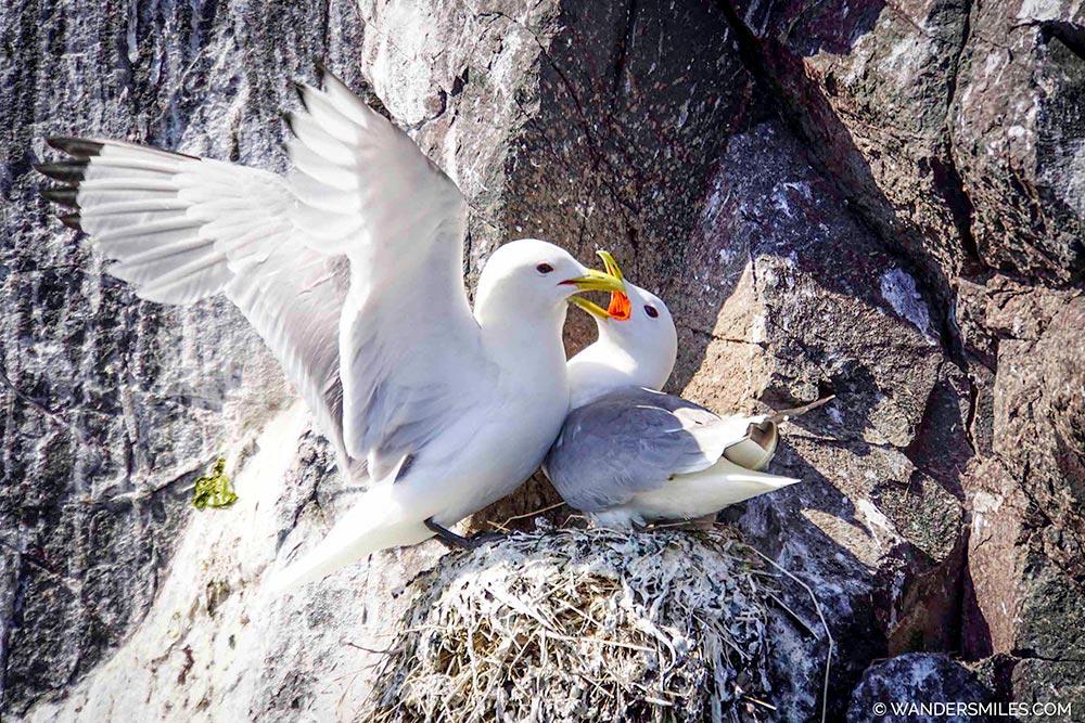 Kittiwakes feeding on Staple Island, Inner Farne Islands