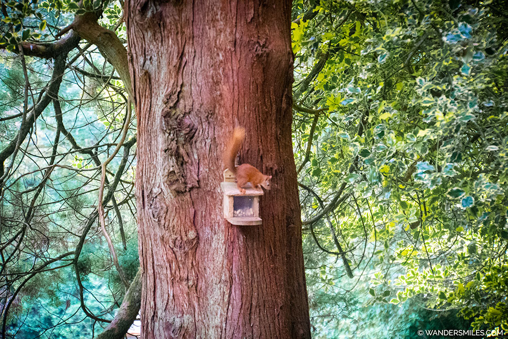Red Squirrel at YHA Grasmere